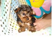 lovely yorkie puppies for re homing