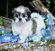 Oustanding  Maltese Puppies for adoption